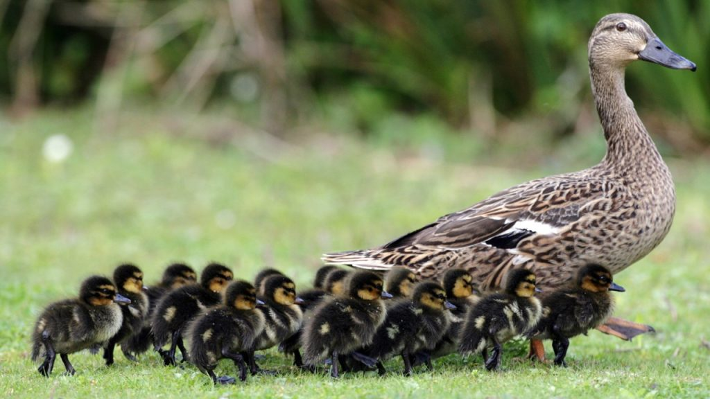 This image has an empty alt attribute; its file name is ducklings-1024x576.jpg